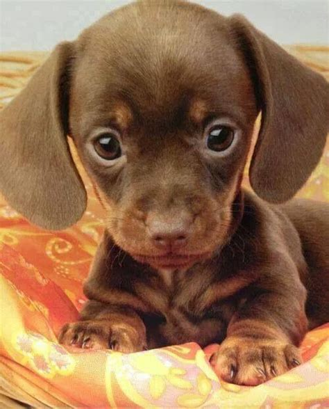 baby weiner dogs baby dachshund pets are family babies i want and baby dachshund