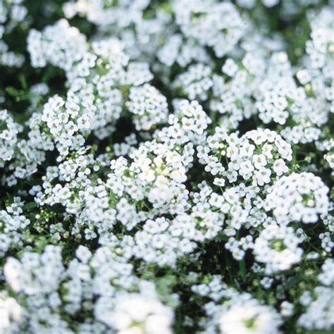 ornamental cabbage annual or perennial alyssum annual or perennial 2018 onlineflowersworld