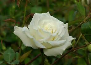 where can i find white knockout rose