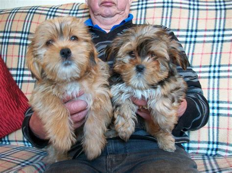cross yorkie puppies shih tzu cross terrier puppies st helens merseyside pets4homes