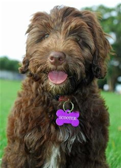 portuguese water don t medium breeds on medium breeds dogs and big dogs