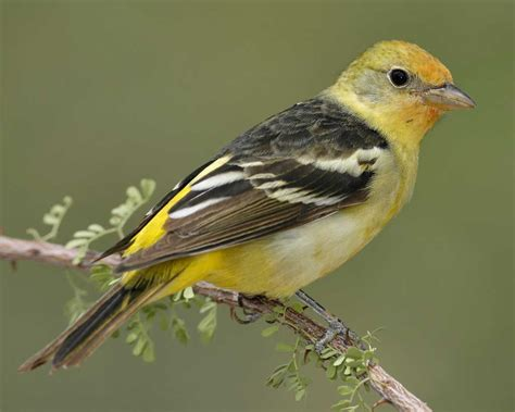 western tanager audubon field guide
