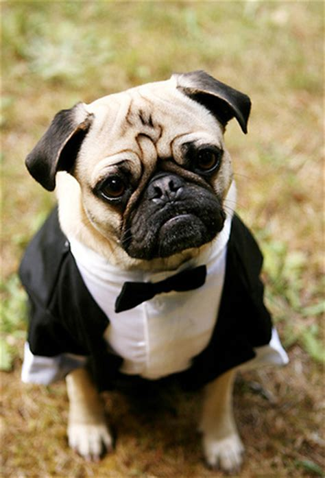 pug tuxedo pugs in tuxedos your ultimate desire