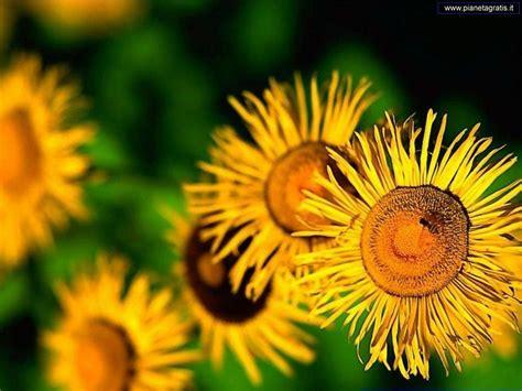 fiori wallpaper pianeta gratis wallpaper e sfondi alberi e fiori fiori