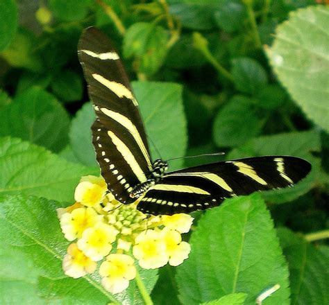 imagenes de mariposas negras y blancas las mariposas y las supersticiones