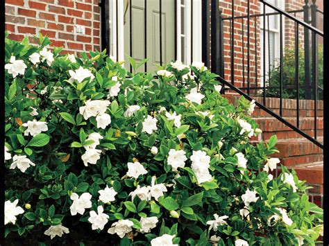Garden Flowers And Plants The Complete Guide To Gardenias Southern Living