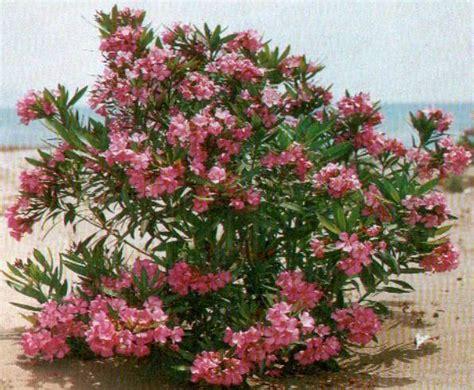 potatura oleandro in vaso oleandro in vaso vivaio meraviglie della natura di