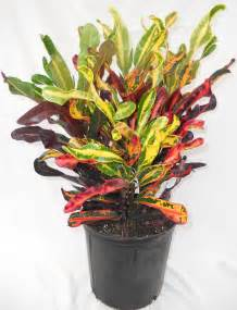 Tropical Foliage House Plants Care - croton curlyboy curley boy date 02 28 2007 curley boy images frompo