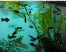 Pakan Burayak Ikan Molly ikan black molly dan cara budidayanya ikan hias air