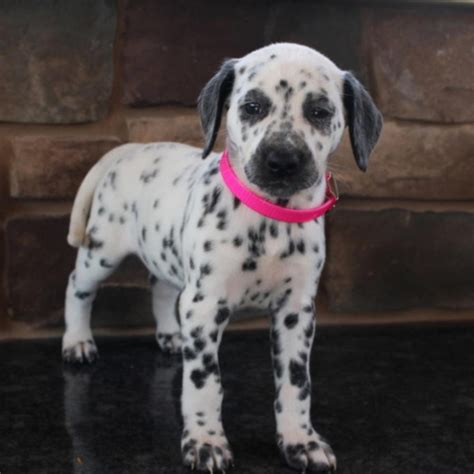 dalmatian puppies for sale los angeles dalmatian puppies for sale los angeles for sale philadelphia pets dogs