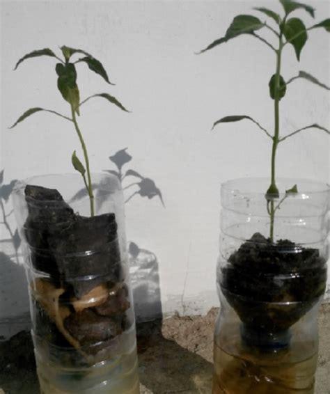 Pupuk Growmore Untuk Cabe cara mudah menanam cabe hidroponik sistem wick