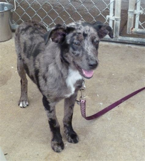 Cow Mix jilly catahoula leopard humane society of dallas county