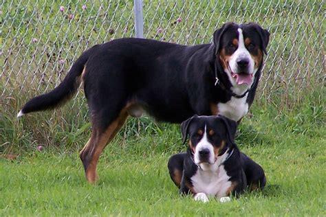 greater swiss mountain puppy www sithappensinc