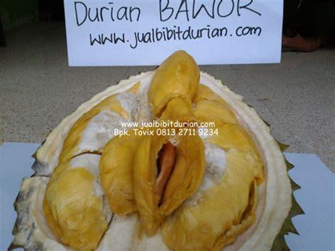 Bibit Durian Merah Kalimantan bibit durian bawor bibit durian montong bibit durian