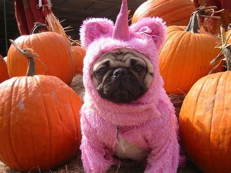 pumpkin pug the mythical pumpkin unicorn pug