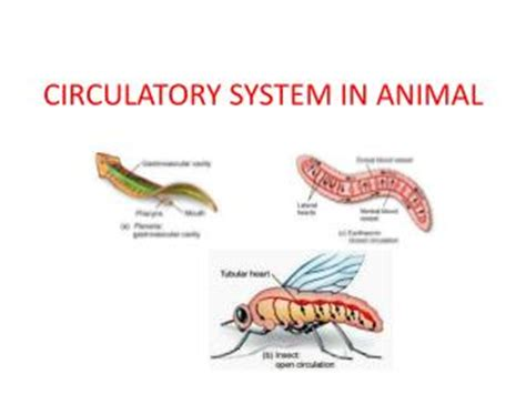 section 37 1 the circulatory system ppt comparative anatomy animal body systems