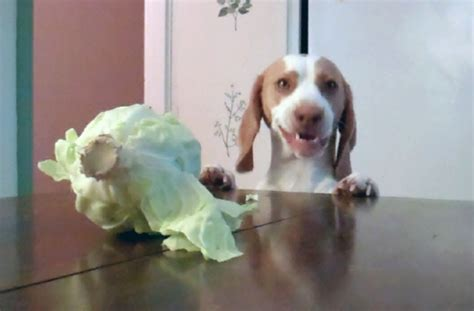 cabbage for dogs dogs stealing money two hilarious