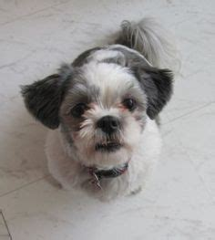 shih tzu demeanor 1000 images about shih tzu s and poodles on shih tzu shih tzu puppy and