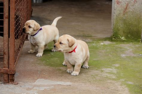 puppy in labrador retriever puppies for sale mohanraj chinnusamy 1 15481 dogs for sale