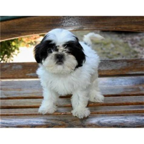 free puppies in wv pets wheeling wv free classified ads