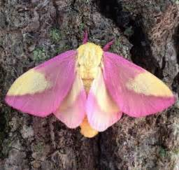 colorful moths this colorful moth might just be the world s most