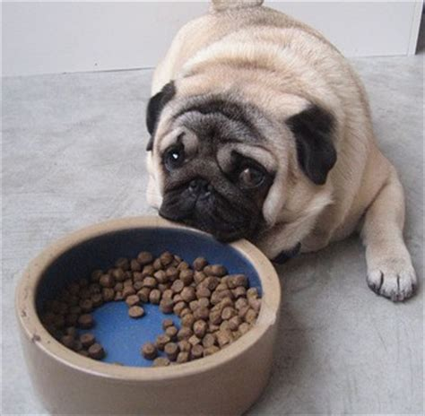 pug puppy diet royal canin pug junior food review