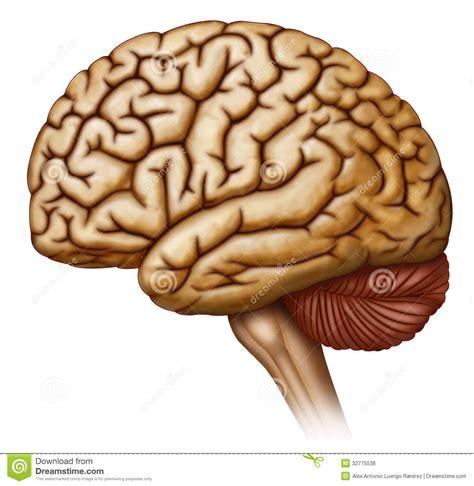 imagenes libres cerebro humano lateral de vista del cerebro stock de ilustraci 243 n