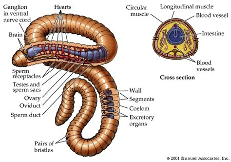 earthworm dissection phylum annelida transport w kingdom and processes