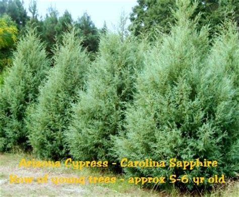 carolina sapphire arizona cypress