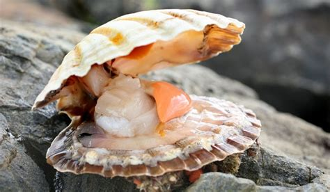 Kerang Scallop shellfish poison warning stuff co nz