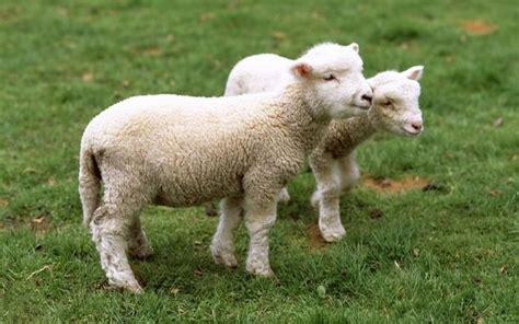 average tattoo prices nz lamb export value drops 40 percent radio new zealand news