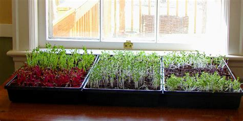 how to grow your own microgreens and save a ton of money