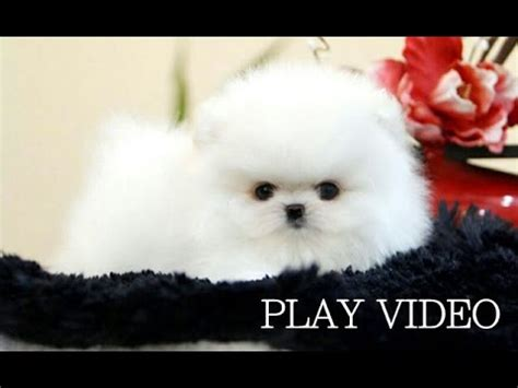 white teacup puppy so teacup white pomeranian for sale teacup puppy for sale