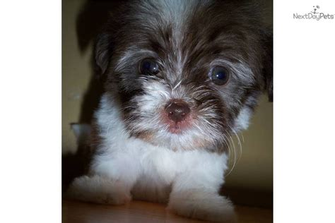 tiny havanese health dogs for sale puppies for sale breeds picture