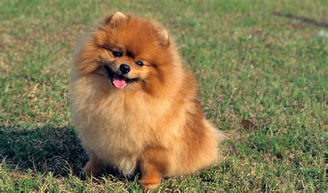 top pomeranian pomeranian breed information