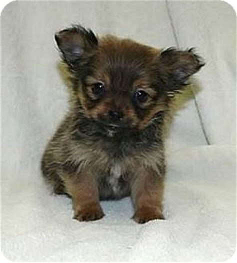 teacup pomeranian yorkie mix the gallery for gt porkie