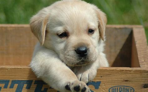 labra puppy labra dogs quotes