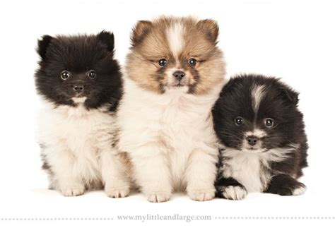 different pomeranian sizes 16 breeds 6 weeks puppies and one amazing photo shoot it will melt you viralczar