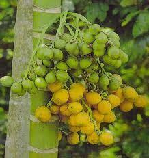 Kulit Pinang Warna Hijau manfaat dan khasiat buah pinang untuk kesehatan bengkel