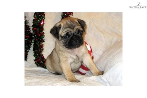 names for boy pugs names for pug puppies