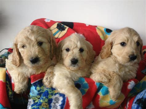 golden retriever x poodle puppies for sale groodle goldendoodle puppies golden retriever x poodle for sale nsw bathurst