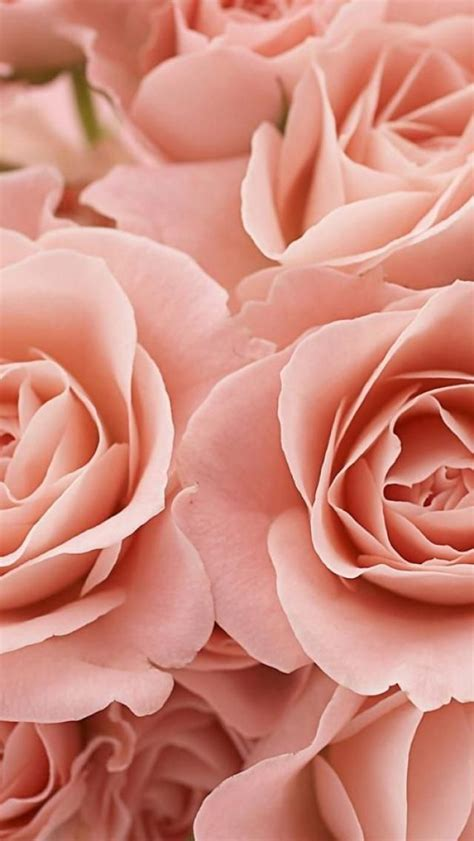 wallpaper for iphone roses pink roses iphone wallpaper wallpaper pinterest