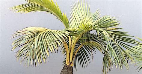 cara membuat kartu kuning di bandar lung tips 5 langkah mudahudah membuat bonsai kelapa tanaman