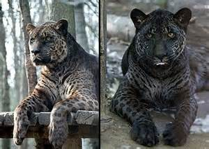 Jaguar Mixed With Animales Extraordinarios Ligre Tig 243 N Leop 243 N Animales