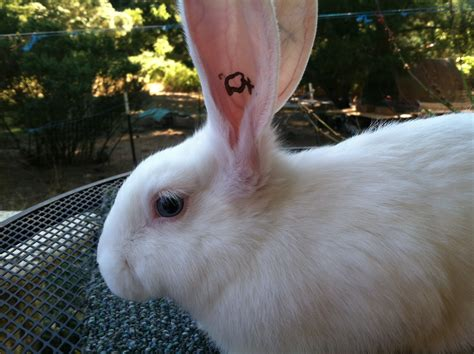 backyard rabbits for meat 100 backyard meat rabbits naturally feeding rabbits