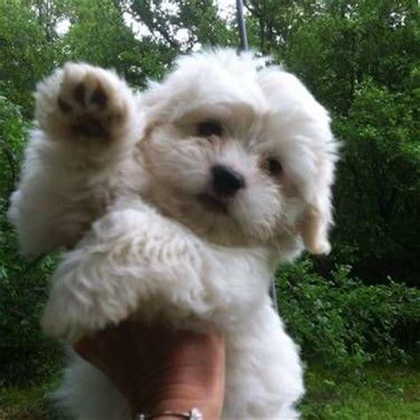 coton de tulear puppy cut the world s catalog of ideas