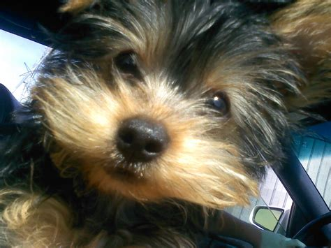 yorkie baby pictures yorkie pin breeds picture