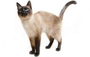 cat facts the pet parent s a to z home care encyclopedia books cat breed info center list of all cat breeds by type