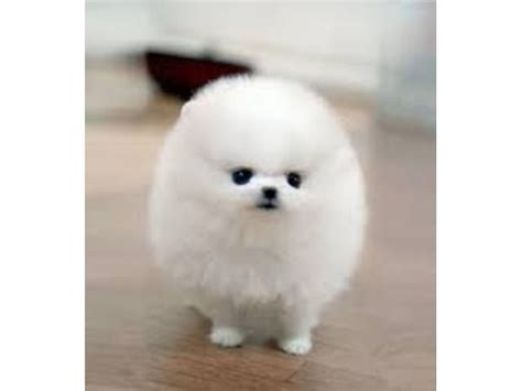 pomeranian puppy temperament best 25 pomeranian puppies for free ideas on