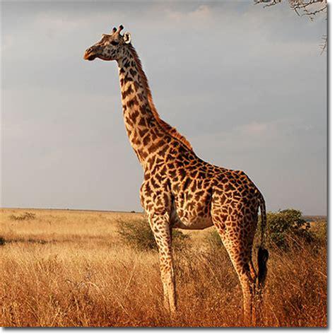 imagenes reales de jirafas 191 c 243 mo estir 243 el cuello la jirafa ciencias mixtas